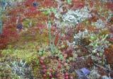 Moos-Sedum-Oberfläche